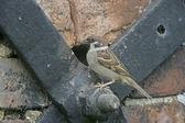 Tree sparrow, Passer montanus — Stock Photo