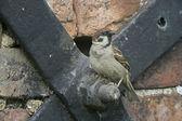 树麻雀麻雀 — 图库照片