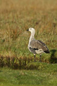 Upland goose, Chloephaga picta — Stock Photo