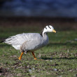 Stock Photo: Bar-headed goose, Anser indicus