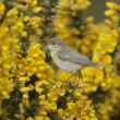 Stock Photo: Willow warbler, Phylloscopus trochilus