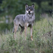 Grey wolf, Canis lupus — Stock Photo #38442545