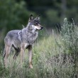 Grey wolf, Canis lupus — Stock Photo #38442549