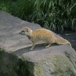 Yellow mongoose, Cynictis penicillata — Stock Photo #38442643