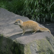 图库照片: Yellow mongoose, Cynictis penicillata