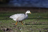 Bar-headed goose, Anser indicus — Stock Photo