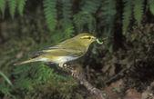 Wood warbler, Phylloscopus sibilatrix — Stock Photo