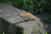 Yellow mongoose, Cynictis penicillata — Стоковое фото