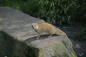 Yellow mongoose, Cynictis penicillata — Stock Photo