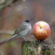 Blackcap, Sylvia atricapilla — Stock Photo #38533919