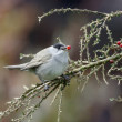 Blackcap, Sylvia atricapilla — Stock Photo