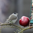 Blackcap, Sylvia atricapilla — Stock Photo #38533943