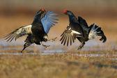Black grouse, Tetrao tetrix — Stock Photo