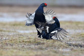 Black grouse, Tetrao tetrix — Stock Photo