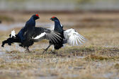 Black grouse, tetrao tetrix — Foto Stock