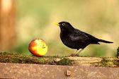 Blackbird, Turdus merula — Stock Photo