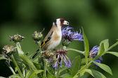 Goldfinch, Carduelis carduelis — Stockfoto