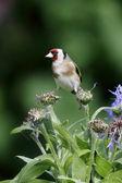 Goldfinch, Carduelis carduelis — Stock Photo