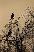 Great cormorant, Phalacrocorax carbo — Stock Photo