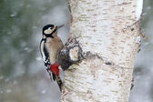 Great-spotted woodpecker, Dendrocopos major — Stock Photo