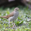 Stock Photo: Nightingale, Luscinimegarhynchos