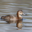 Northern pochard, Aythya ferina — Stock Photo