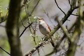 Nightingale, Luscinia megarhynchos — Stock Photo