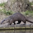 ������, ������: Otter Lutra lutra