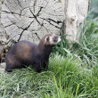 Stock Photo: Polecat, Putorius putorius,