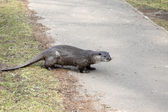 Otter, Lutra lutra — Stock Photo