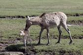 Pere David's deer, Elaphurus davidianus — Fotografia Stock