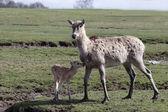 Pere David's deer, Elaphurus davidianus — Stock Photo