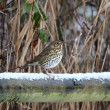 Song thrush, Turdus philomelos — Stock Photo #38660275