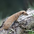 Stock Photo: Weasel, Mustelnivalis,