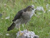Sparrowhawk, Accipiter nisus — Stock Photo