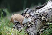 Weasel, Mustela nivalis, — Stock Photo