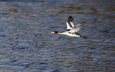 Great-crested grebe, Podiceps cristatus — Stock Photo