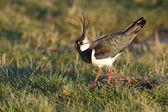 Northern lapwing, Vanellus vanellus — Stock Photo