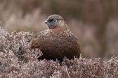 Red grouse, Lagopus lagopus scoticus — Stock Photo