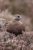Red grouse, Lagopus lagopus scoticus — Photo