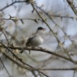 Blackcap, Sylvia atricapilla, — Stock Photo