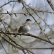 Blackcap, Sylvia atricapilla, — Stock Photo #45267855