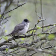 Blackcap, Sylvia atricapilla, — Stock Photo #45267861