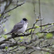 Blackcap, Sylvia atricapilla, — Stock Photo #45267863