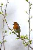Robin, Erithacus rubecula — Stock Photo