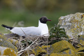 Black-headed gull, Larus ridibundus — Stock Photo