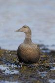 Eider duck, Somateria mollissima — Foto Stock