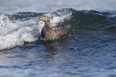 Eider duck, Somateria mollissima — Stock Photo