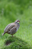 Red-legged partridge, Alectoris rufa — 图库照片