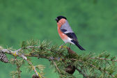 Bullfinch, Pyrrhula pyrrhula — Stock Photo
